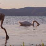 Il fenicottero Sabatino con i cigni del lago