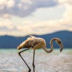 Il fenicottero sabatino sul lago di Bracciano