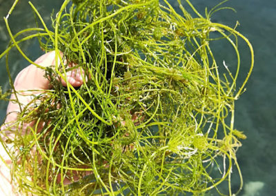 Le alghe affiorate
