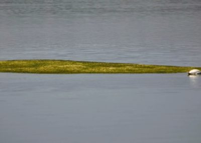 L'Isola di alghe apparsa ad Anguillara